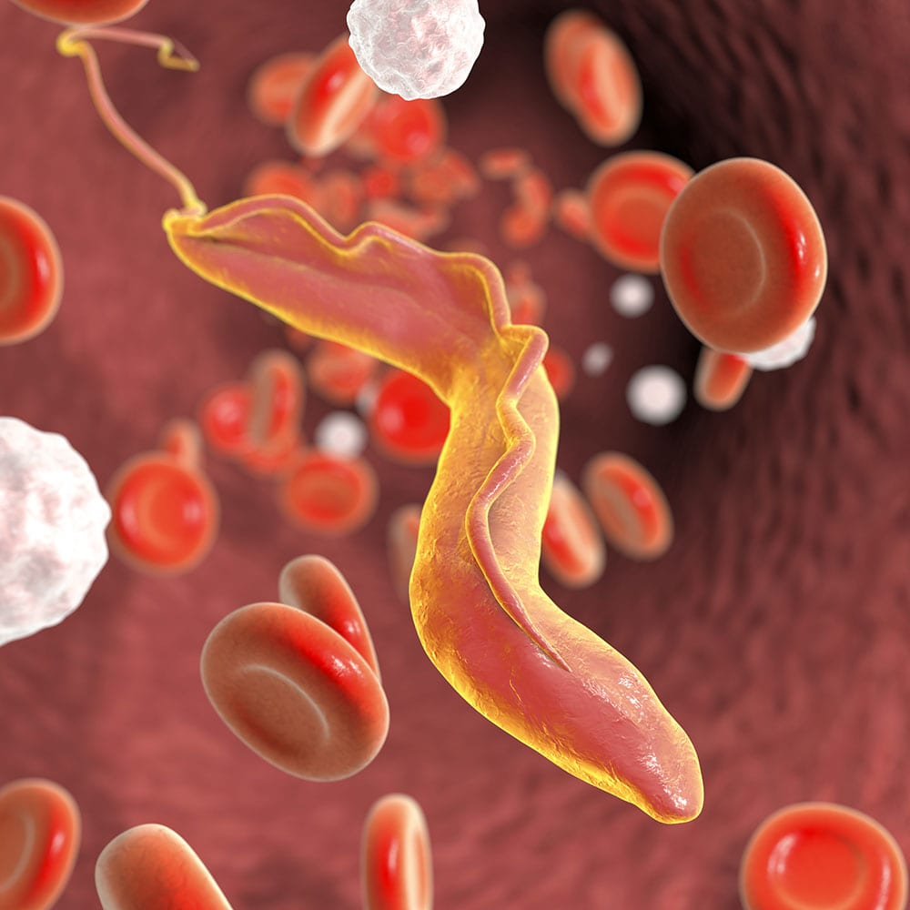 Trypanosoma cruzi parasite which causes Chagas disease